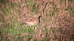 Crested lark sleep at night Stock Footage
