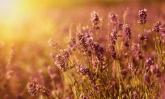 Lavender in the field - stock photo