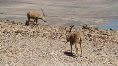 Nubian ibex male Stock Footage
