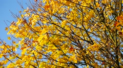 Yellow maple leaf in autumn - stock footage
