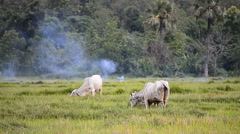 Cows In Rural Green Field Of Thailand Stock Footage