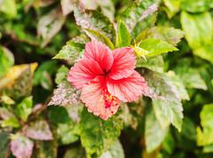 Hibiscus pink flower on blur background - stock photo