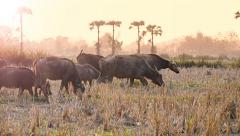Buffalo Flock Walking In Countryside Field Of Thailand Stock Footage