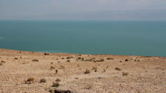 Nubian ibex in the dead sea Stock Footage
