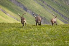 Alpine Ibex in the mountains Stock Photos
