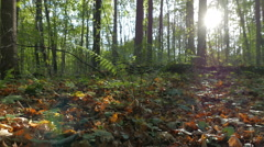 Autumn forest. The sun is shining through the tree trunks in the bush fern. Stock Footage