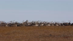 Eskimo Rounding Up Reindeer Herd in Alaska Tundra Stock Footage