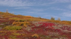 Fall Foliage and Colors on Tundra in Alaska - stock footage