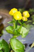 Marsh Marigold flower Stock Photos