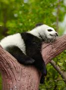 Sleeping giant panda baby Stock Photos