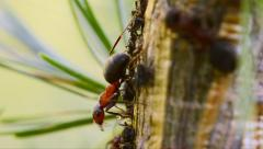 red ant and aphids - stock footage