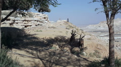 2 Ibexes find shade in the hot sunny Negev desert, Israel Stock Footage