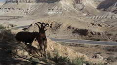 2 Ibex males fight each other with their horns, Israel Negev desert Stock Footage