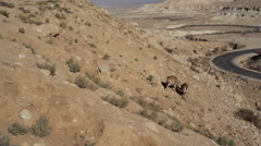 Ibex males push and fight each other with horns, Israel Negev desert - stock footage