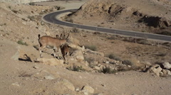 Ibex fight each other with their horns, Israel Negev desert - stock footage