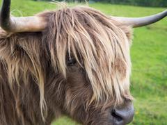 Stock Photo of Scottish highland cow
