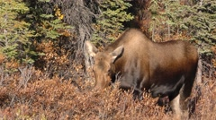 Alaska Moose at Denali National Park in the Fall - stock footage