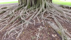 Banyan tree pan up and down Stock Footage