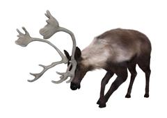 Caribou - stock illustration