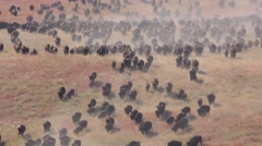 Buffalo aka Bison Herd Stampede in Great Plains Grassland Stock Footage