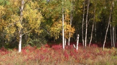 Birch Trees and Fall Foliage in Forest in Alaska Stock Footage