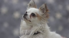 Furry chihuahua  little dog Arkistovideo