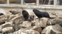 South American Sea Lions - Otaria Flavescens - Coquimbo - Chile Stock Footage