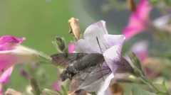 Hummingbird hawkmoth - Macroglossum stellatarum - in autumn Stock Footage