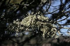 Branch  covered with hanging lichen Stock Photos