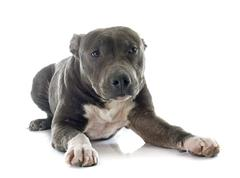 puppy american staffordshire terrier - stock photo