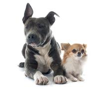 puppy american staffordshire terrier and chihuahua - stock photo