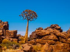 Quiver tree in namibian Giant's Playground Stock Photos