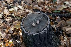Acorns on hemp in the oak wood, fall Stock Photos