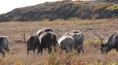 Caribou aka Reindeer Walking and Migrating Across Tundra Stock Footage