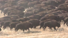 Buffalo aka Bison Stampede Running Herd in Prairie Stock Footage