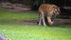Malayan Tiger Walking In Zoo Area Daytime Stock Footage