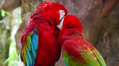 Red Macaws Tropical Love Birds Stock Footage