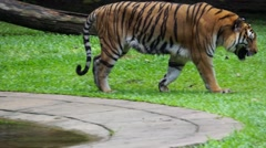 Malayan Tiger Slow Motion Prowling Stock Footage