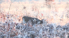 Young Buck Walking through the Frosty Grassland and Crossing a Dirt Road Stock Footage