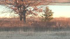 Great Big Buck walking along a Marsh in a Distance Stock Footage