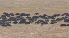 Bison Herd Walking and Migrating Across the Great Plains Stock Footage