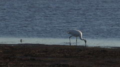Whooping Crane Feeding in a Pond Stock Footage