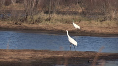 Pair of Whooping Cranes Vocalization  dramatic calls Stock Footage