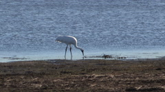 Whooping Crane Shaking the Life out of a Fish Stock Footage