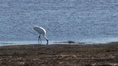 Whooping Crane trying to breakup a fresh caught fish Stock Footage