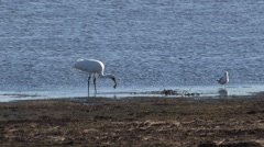 Whooping Crane eats a fresh caught fish while a seagull waits for leftovers Stock Footage