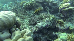 Colorful fish on coral reef in Pacific ocean. Stock Footage