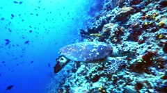 Sea turtle looking for food on coral reef Stock Footage