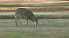 Young Buck Grazing with Warm Light in Background Stock Footage