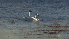Pair of Trumpeter Swans in a Marsh with vocals Stock Footage